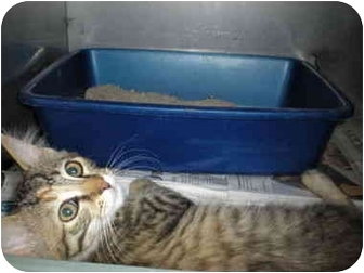 Domestic Shorthair Kitten for adoption in McIntosh, New Mexico - Twyla