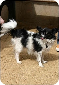 Papillon Mix Dog for adoption in Los Angeles, California - ALEXIS