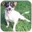 Photo 1 - Jack Russell Terrier Dog for adoption in Phoenix, Arizona - CRACKER JACK