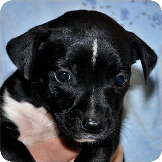 Jack Russell Terrier Mix Puppy for adoption in Broadway, New Jersey - Shemp
