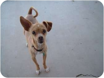 Chihuahua Mix Dog for adoption in Mesa, Arizona - Chumba