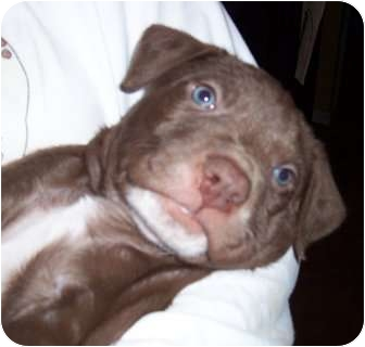 Labrador Retriever/Terrier (Unknown Type, Medium) Mix Puppy for adoption in Olive Branch, Mississippi - Woody