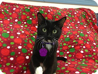 Domestic Shorthair Cat for adoption in Aiken, South Carolina - Paisley