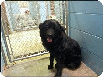 Newfoundland Mix Dog for adoption in Alexandria, Virginia - Ted