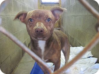 Chihuahua/Eskimo Spitz Mix Dog for adoption in Linden, Tennessee - Skinner