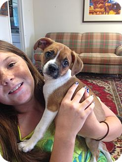 Pug/Chihuahua Mix Puppy for adoption in Huntsville, Alabama - Abbie
