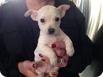Chihuahua Mix Puppy for adoption in North Royalton, Ohio - Opal