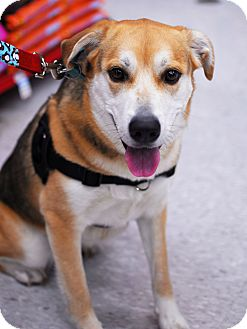Beagle/Shepherd (Unknown Type) Mix Dog for adoption in Detroit, Michigan - Buttercup-Adopted!