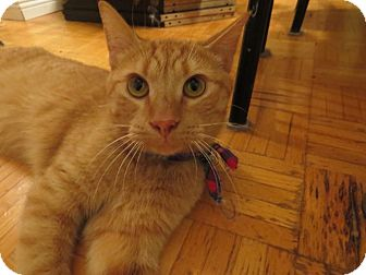 Domestic Shorthair Cat for adoption in THORNHILL, Ontario - JEDI