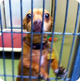 Miniature Pinscher/Chihuahua Mix Dog for adoption in Parma, Ohio - Dale