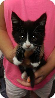 Domestic Shorthair Kitten for adoption in Ogden, Utah - Elrond