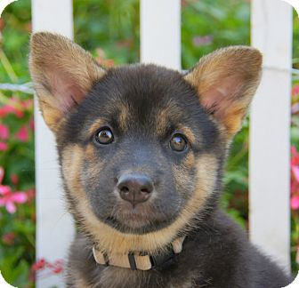 German Shepherd Dog/Husky Mix Puppy for adoption in Thousand Oaks, California - Charlotte von Calw