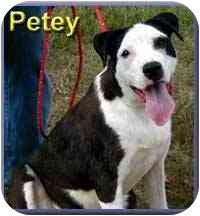 Labrador Retriever/Border Collie Mix Dog for adoption in Aldie, Virginia - Petey