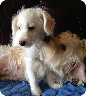 Coton de Tulear Mix Puppy for adoption in Carlsbad, California - Marilisa