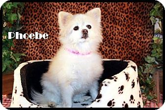 Pomeranian Dog for adoption in Dallas, Texas - Phoebe