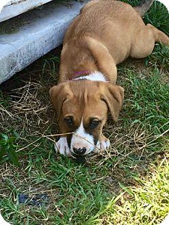 German Shepherd Dog/Labrador Retriever Mix Puppy for adoption in Moyock, North Carolina - Heart