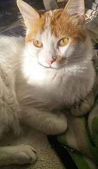 Turkish Van Cat for adoption in Herndon, Virginia - Sid (& Treacle)