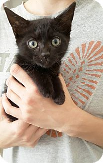 American Shorthair Kitten for adoption in Nashville, Tennessee - Elliot