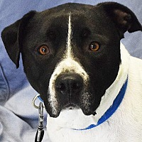 American Bulldog/American Staffordshire Terrier Mix Dog for adoption in Huntley, Illinois - Atlas