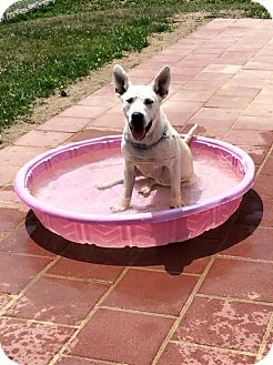 Great Dane/Labrador Retriever Mix Dog for adoption in Mechanicsburg, Ohio - Creme
