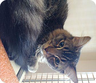 Somali Cat for adoption in Riverside, California - Nick