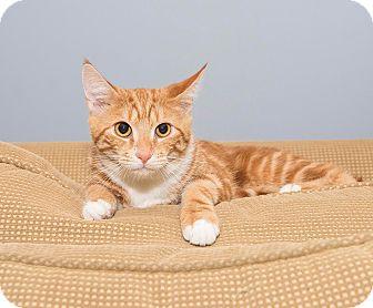 Domestic Shorthair Kitten for adoption in North Haledon, New Jersey - Alvin