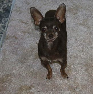Chihuahua Mix Dog for adoption in Walnut Creek, California - Armani