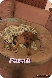 Shar Pei/Labrador Retriever Mix Puppy for adoption in Mesa, Arizona - FARRAH 8 WEEK SHARPEI LAB MALE