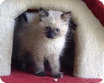 Domestic Longhair Kitten for adoption in Lathrop, California - Cloud