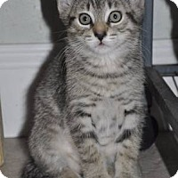 Adopt A Pet :: JASPER -9 weeks old- - New Smyrna Beach, FL