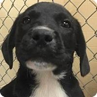 Adopt A Pet :: Bingo - Springdale, AR