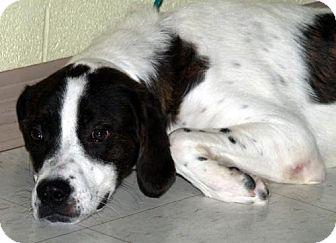 St. Bernard Mix Dog for adoption in Lewisburg, West Virginia - Bonzo