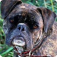 Adopt A Pet :: GARFIELD(PB ENGLISH BULLDOG!! - Wakefield, RI
