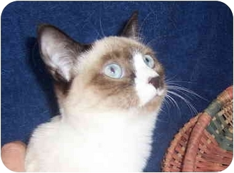 Siamese Kitten for adoption in Oklahoma City, Oklahoma - Rocky