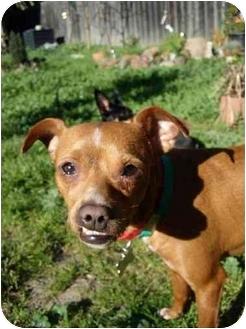 Pug/Boxer Mix Dog for adoption in Castro Valley, California - Bruiser