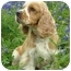 Photo 1 - Cocker Spaniel Dog for adoption in Sugarland, Texas - Foster