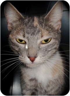 Domestic Shorthair Cat for adoption in Barron, Wisconsin - Gina