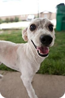 Schnauzer (Standard)/Poodle (Miniature) Mix Puppy for adoption in Pilot Point, Texas - DILLY