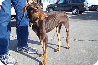 Doberman Pinscher Dog for adoption in New Richmond, Ohio - Koari--adopted!!