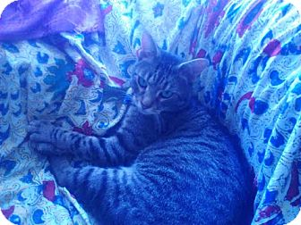 Domestic Shorthair Kitten for adoption in Brooklyn, New York - Troy
