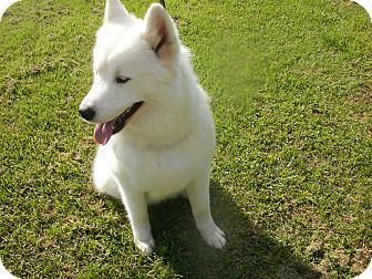 Samoyed Puppy for adoption in Quincy, Indiana - Casper