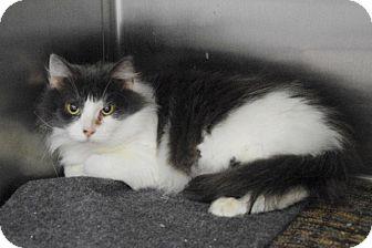 Domestic Mediumhair Cat for adoption in Elyria, Ohio - Daphney