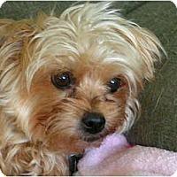 Adopt A Pet :: Goldie - Rigaud, QC