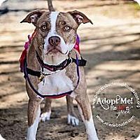 Adopt A Pet :: Vanilla Bean - Cherry Hill, NJ