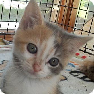 Domestic Shorthair Kitten for adoption in Acme, Pennsylvania - Diva