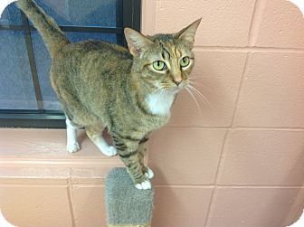 Domestic Shorthair Cat for adoption in Lake Charles, Louisiana - Bonnie