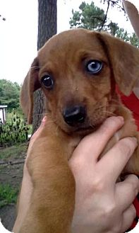 Dachshund Mix Puppy for adoption in Rocky Mount, North Carolina - Jewel