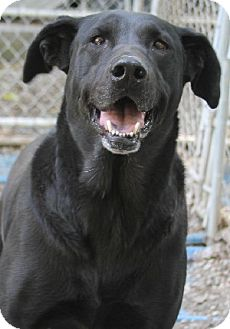 Labrador Retriever Mix Dog for adoption in Savannah, Missouri - Hannah
