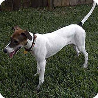 Italian Greyhound Mix Puppy for adoption in Argyle, Texas - Luana in Sugarland