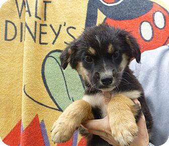 Australian Shepherd/Golden Retriever Mix Puppy for adoption in Oviedo, Florida - Boca